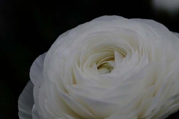 花き研究指導室 ラナンキュラス 170108 04