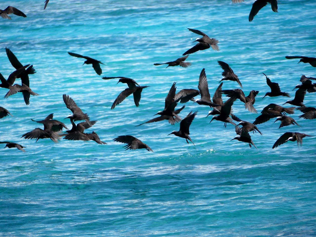 161224 タヒチ探鳥(3) ヒメクロ...