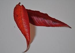 DSC_0231(201)(1)桜の葉