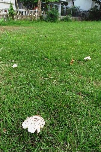 公園キノコb DSC01021