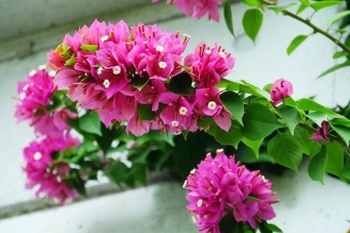 我家花ブーゲン P1060637