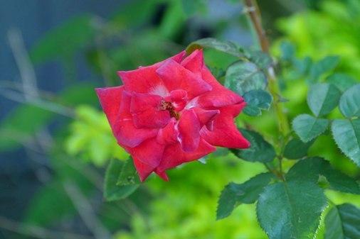 我家花バラ P1060353