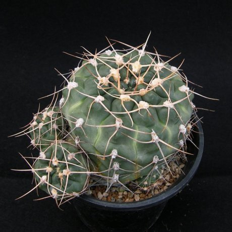 SANY0084--sigelianum---Koehres seed --ex Kousen en