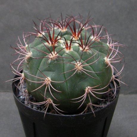 Sany0129--pflanzii ssp dprisiae--Rio Paichu tarija Bolivia--Amerhauser seed (2009) seed