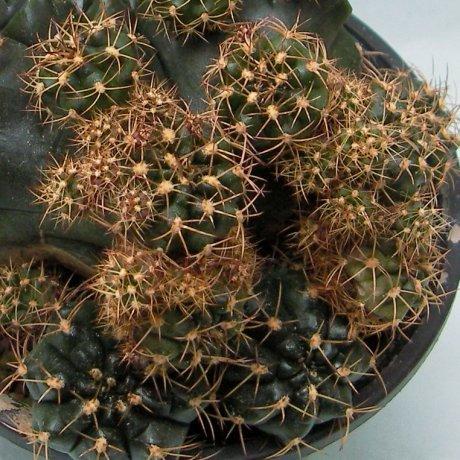 Sany0201--multiproliferum--Mesa seed