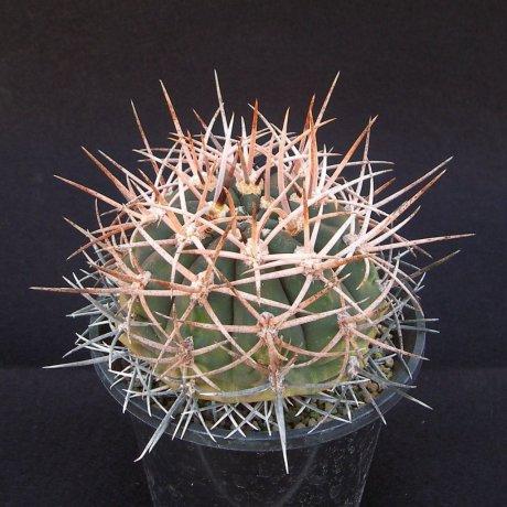 Sany0056--hossei - rhodantherum--P 79--Chilecito--Piltz seed 4224