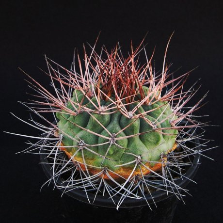 Sany0021--rhodamtherum--VS 41--Guandacol Sierra Famatina--Piltz seed 5241