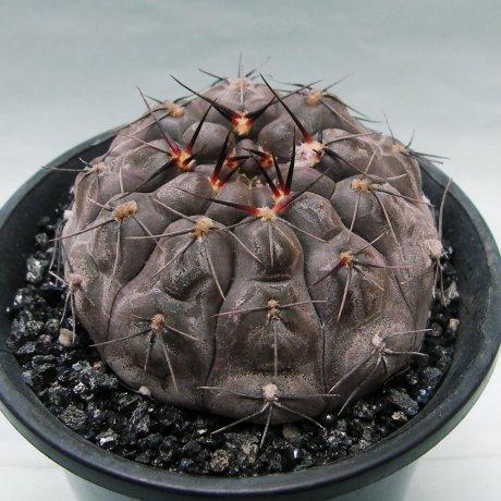 Sany0065--berchtii--VS 161--Koehres seed (Kousen en)