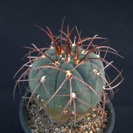 Sany0055--spegazzinii --Imp Koop--Amerhauser seed (2009)