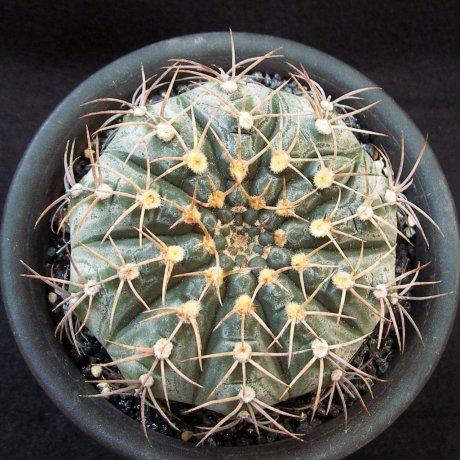 Sany0143--triacanthum--P124--piltz seed--ex kobayasi