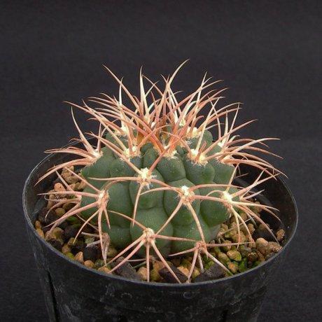 Sany0104--guanchinense v mirandaense--Tom 12-651-1--Bercht seed (2014)