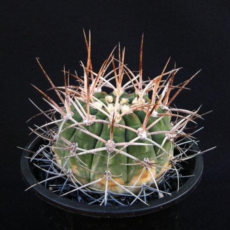 Sany0196--mazanense v polycepharum--P 223--Piltz seed