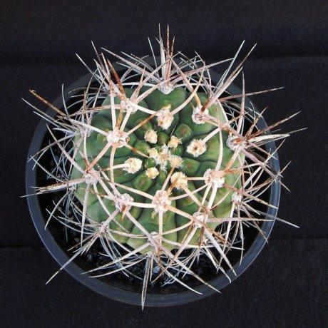 Sany0199--mazanense v polycepharum--P 223--Piltz seed
