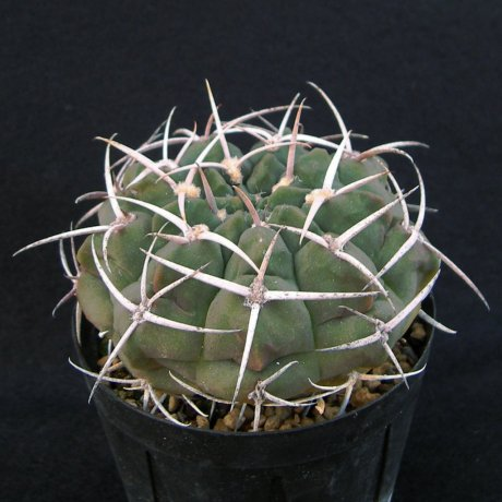 Sany0224-catamarcense f ensispinum--OF 27-80--Piltz seed 2645