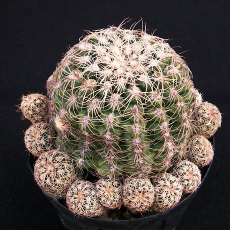 Sany0012--parvulum--P 109b--Las Labonas Cordoba--ex Eden 10877