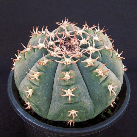 Sany0057-spegazzinii v unguispinum--SL 44b--Bercht seed