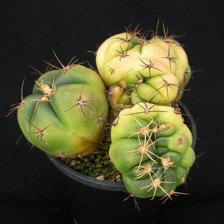 Sany0080--horstii--LB 923--Bercht seed