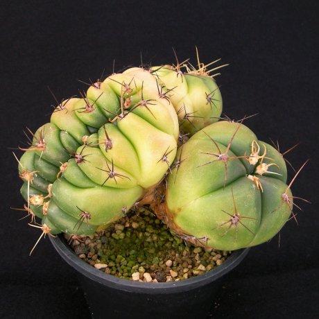 Sany0081--horstii--LB 923--Bercht seed