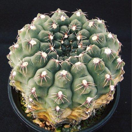 170212--Sany0214a--quehlianum v flavispinum--Koehres seed 626