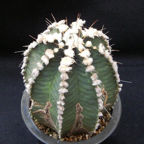Sany0172--friedrichii v albiflorum--HU 314--