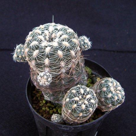 Sany0221--bruchii ssp lafaldense-LB 1091--eastern La Cumbre 1300m--Bercht seed