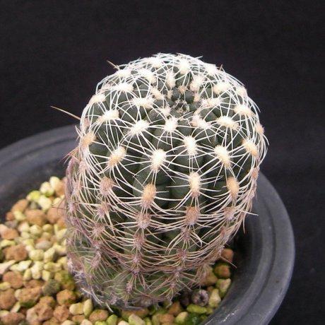 Sany0205--bruchii lafaldense--Rowland seed