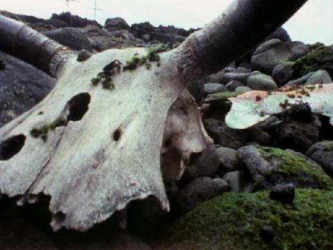 牛の頭骨に居たのは・・・カニ