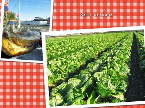 白菜収穫日和!!!