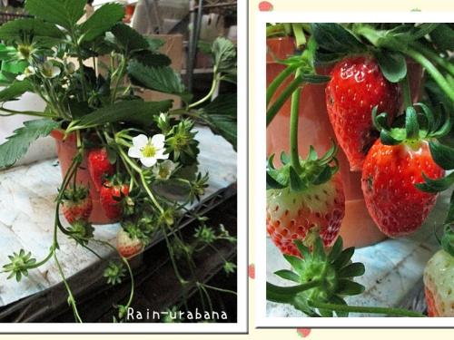 赤い実は食べてしまおう (^ ^V