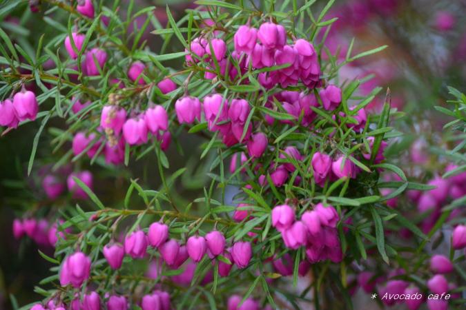 ツリガネ状の花