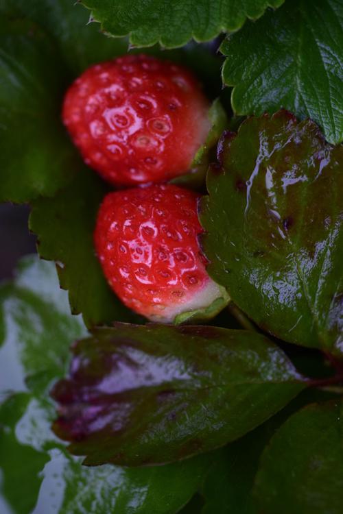 strawberry16_11_15.jpg