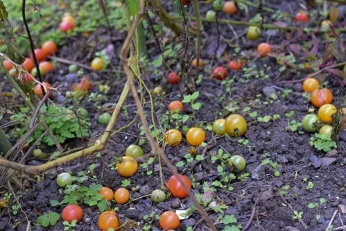 tomato_16_12_1_2.jpg