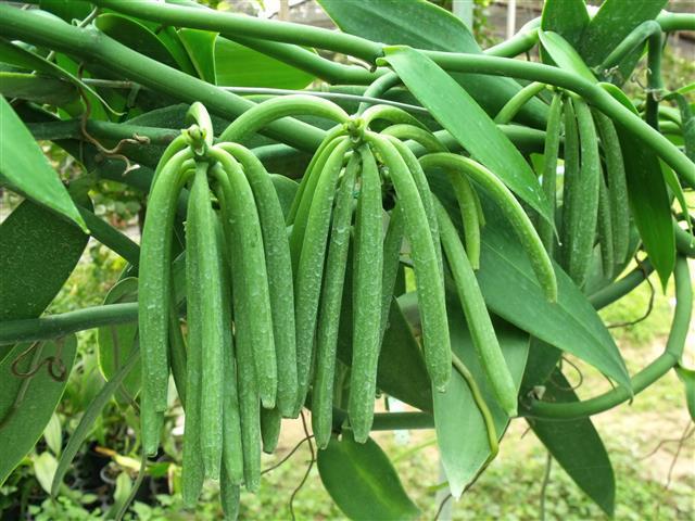 Vanilla planifolia, Frucht