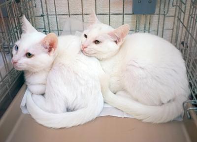 まだちょっとビビりさんですが、人気の白猫兄妹も参加します。