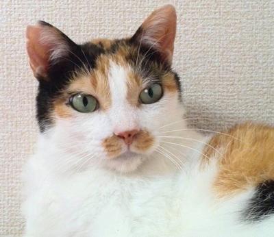 色っぽい三毛猫ミキータちゃん参加します