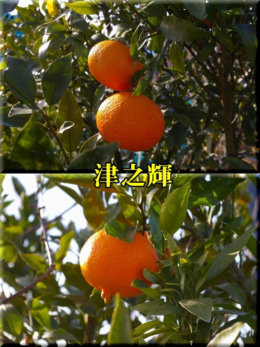 1tunoki161224_011.jpg