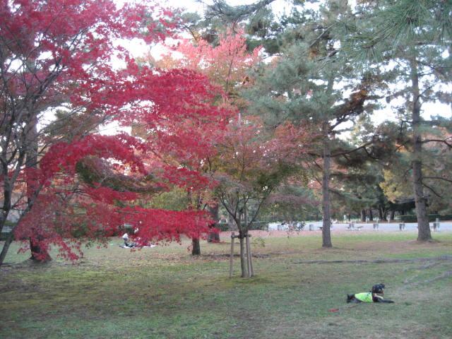 161112御所さんぽ⑨紅葉とふうた