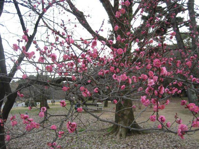 170107御所さんぽ③早咲きの梅