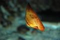 ナンヨウツバメウオ幼魚3