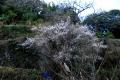 ウメの木3