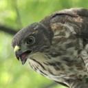 128-ツミ幼鳥-2016-06-24
