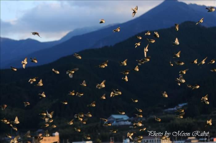 スズメの群れ 愛媛県西条市氷見北新開