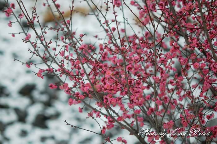 紅梅と雪 市民の森