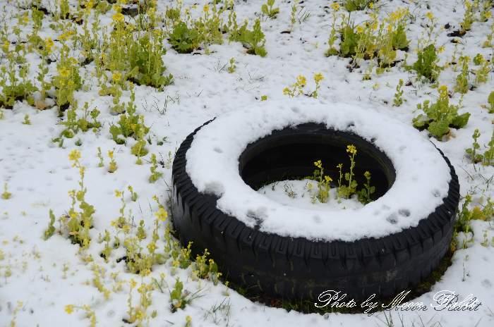 所藪の雪とナノハナ 愛媛県西条市