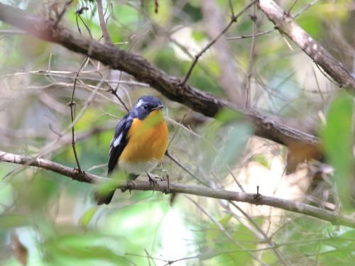 NN7A0134森林植物園 ムギマキ_convert_20161029192648