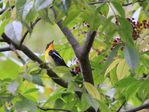 NN7A0105森林植物園 キビタキ_convert_20161029192812