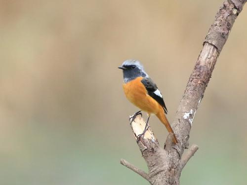 NN7A0150南港野鳥園 ジョウビタキ_convert_20161120195528