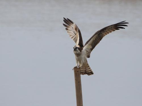 NN7A0211南港野鳥園 ミサゴ_convert_20161120200002
