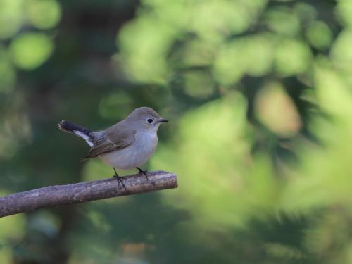 NN7A0416山田池公園 オジロビタキ_convert_20161207175123