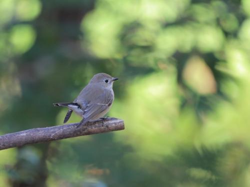 NN7A0425山田池公園 オジロビタキ_convert_20161207175216